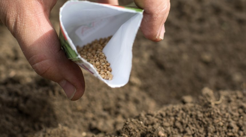 Как сажать щавель семенами дома 15